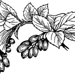 Ketose